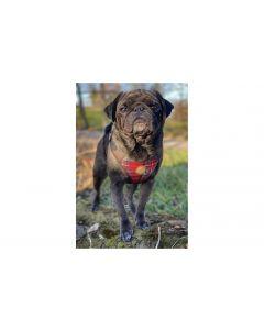 Carolina Corrodi Geschirr French Bulldog, Dublin Rot kariert