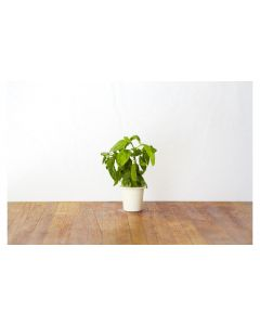 Click and Grow Saatgut Basilikum