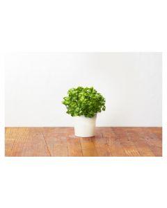 Click and Grow Saatgut Petersilie