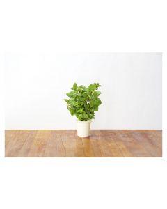 Click and Grow Saatgut Pfefferminze